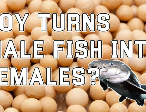 Soy Turns Male Fish Into Females